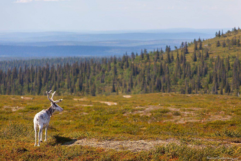 Reindeer at Pallastunturi fells, Finland