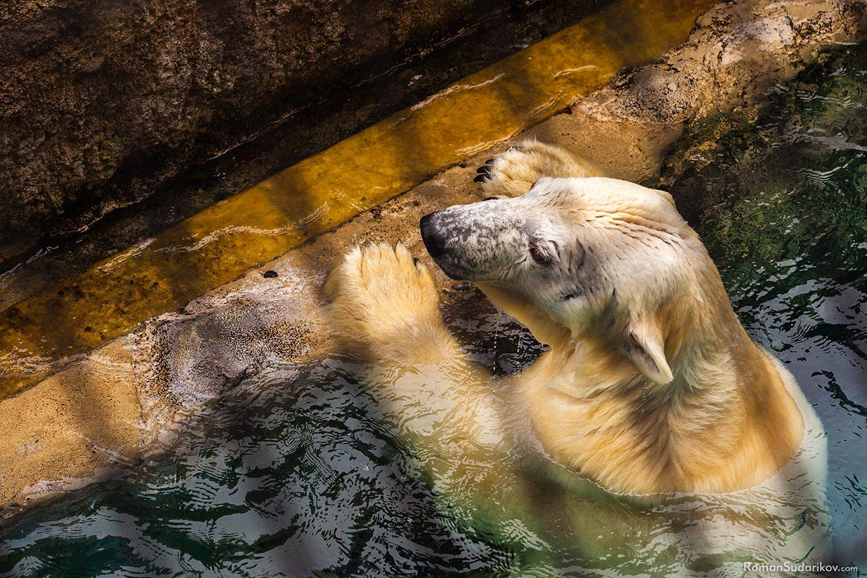 Белый медведь, Зоопарк Асахияма, Хоккайдо, Япония