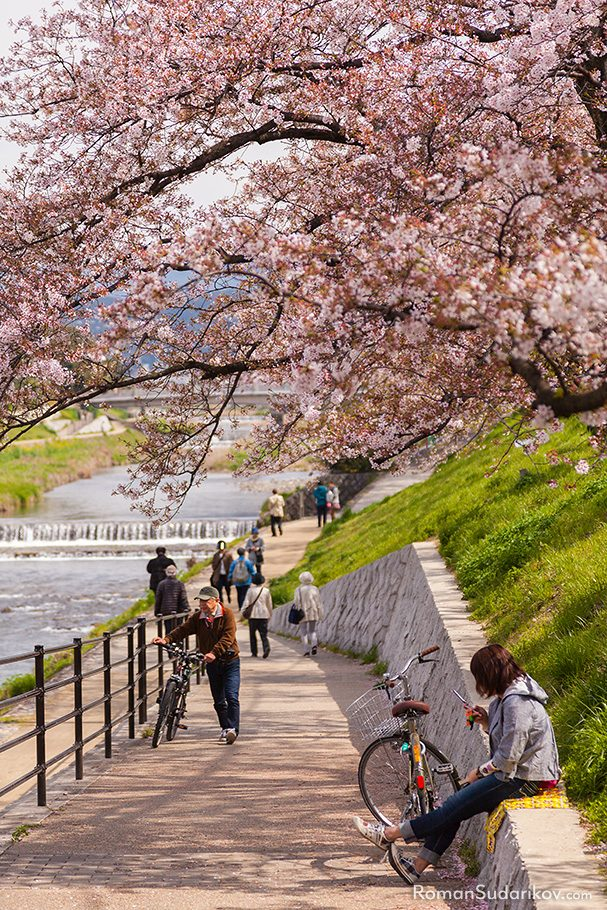 Cherry Blossom Trees at Kamogawa river, Kyoto, Japan