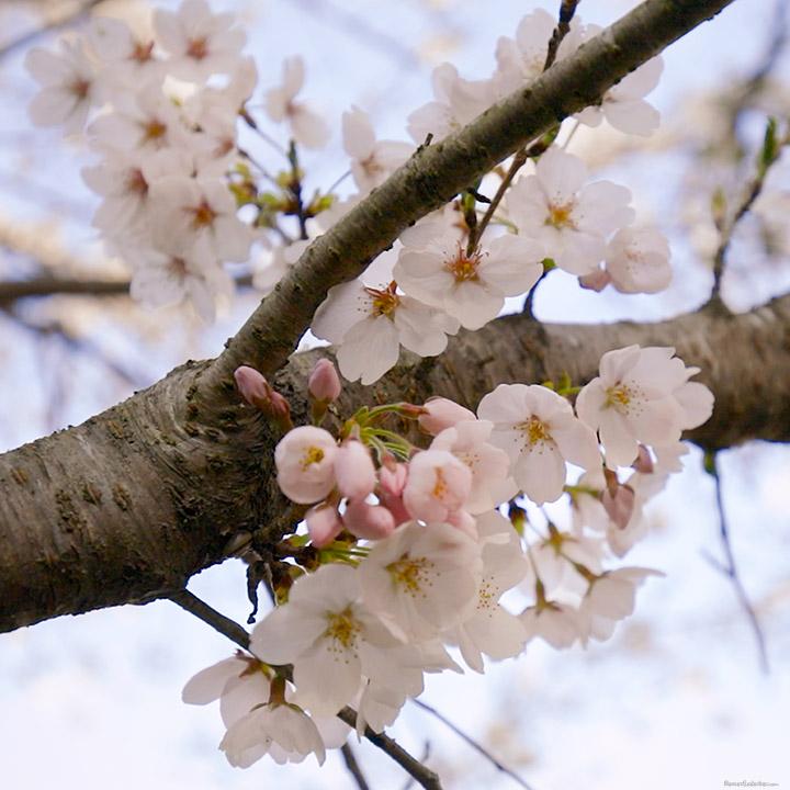 Yoshino -vuoren kauniit sakuran kukat täyskukintavaiheessa