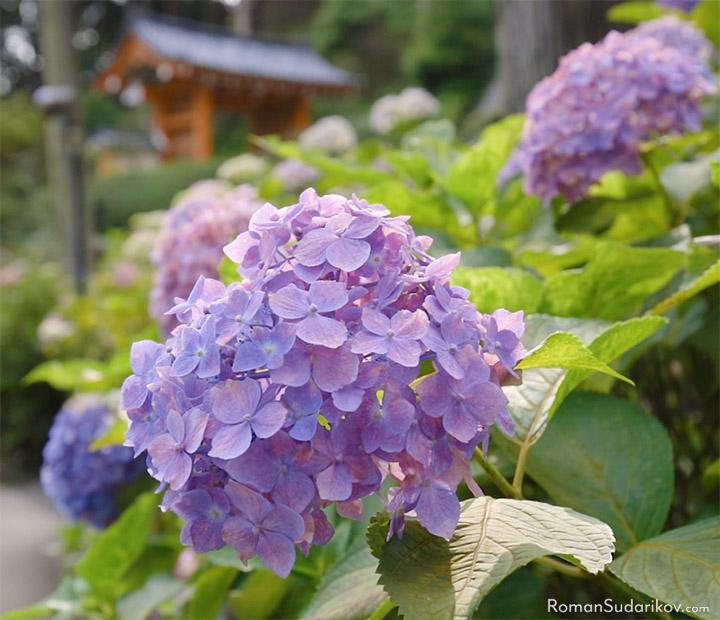 Цветок гортензии и ворота в храм Мимуротодзи на заднем плане