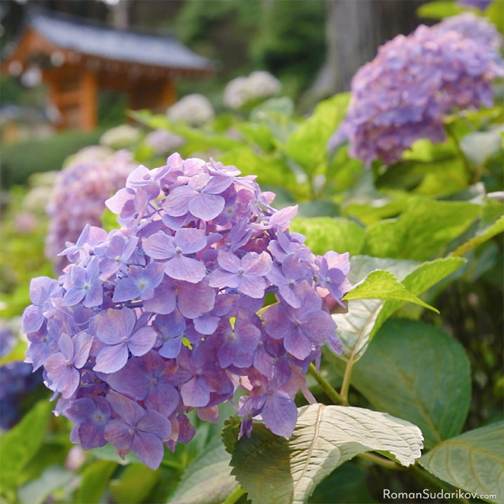 A hydrangea flower and the gate to Mimurotoji Temple on background