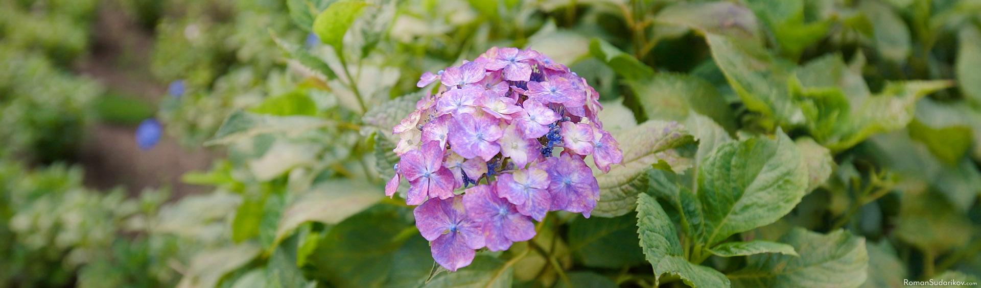 Отдельный цветок гортензии в храме Мимуротодзи