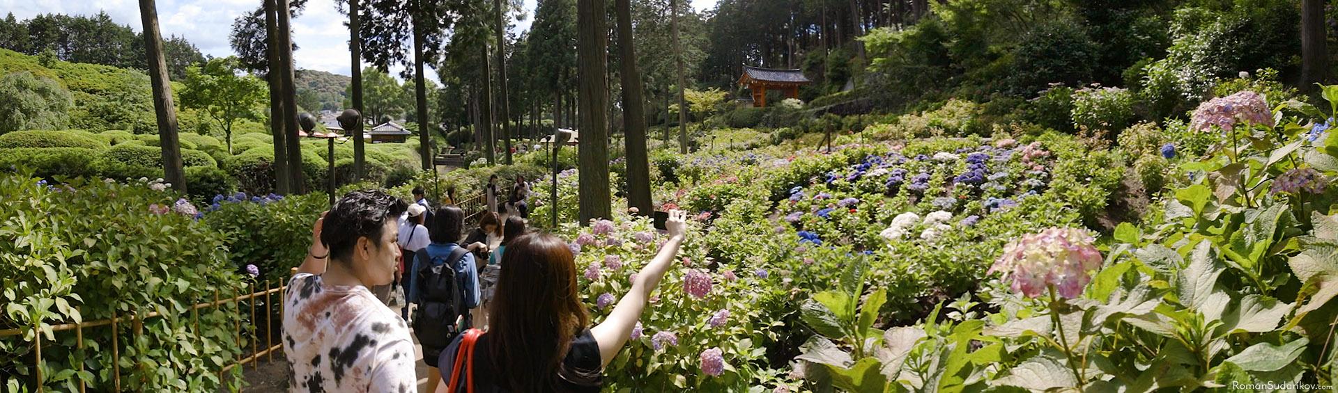 Hydrangea garden at Mimurotoji Temple in Uji